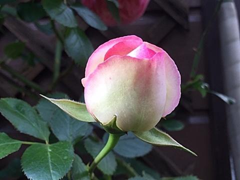 ピエールドロンサールが咲きだしました~♬_d0046702_16532358.jpg
