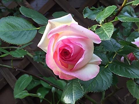 ピエールドロンサールが咲きだしました~♬_d0046702_16533299.jpg