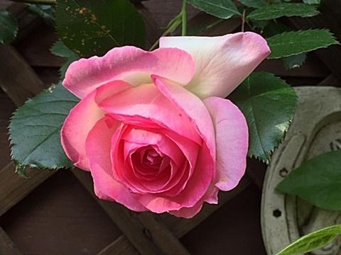 ピエールドロンサールが咲きだしました~♬_d0046702_16534116.jpg