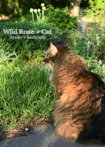 ワイルドローズが咲いたけど / ミソサザイの親子、その後_b0253205_03553192.jpg
