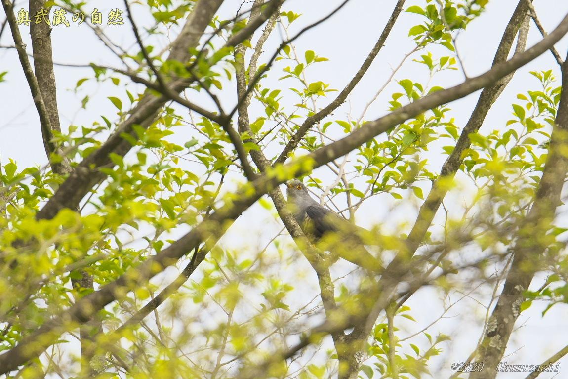 春のツツドリ_e0268015_21561761.jpg