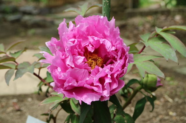 Stay Garden * 牡丹が咲きました~♪_e0397815_22572482.jpg