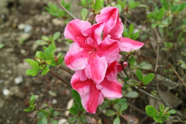 Stay Garden * 牡丹が咲きました~♪_e0397815_23113967.jpg