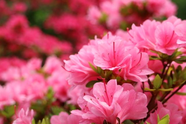 Stay Garden * 牡丹が咲きました~♪_e0397815_23164558.jpg