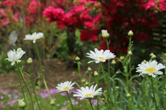 Stay Garden * 牡丹が咲きました~♪_e0397815_23165172.jpg