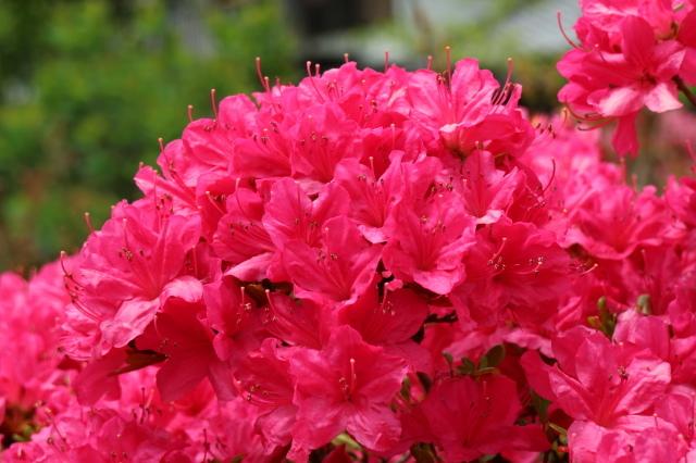 Stay Garden * 牡丹が咲きました~♪_e0397815_23165841.jpg