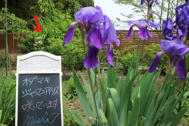 Stay Garden * 牡丹が咲きました~♪_e0397815_23223943.jpg