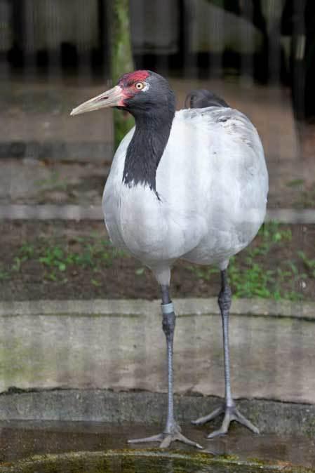雨の上野動物園:ヘビクイワシの美貌~ツル舎の鳥たち(June 2019)_b0355317_21401601.jpg