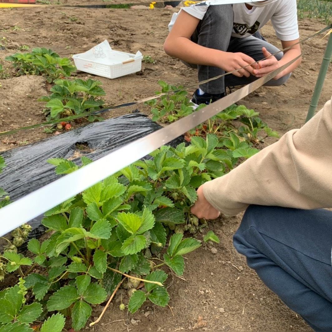 でっかいチーム 本日苺の収穫🍓_f0065444_16052521.jpeg