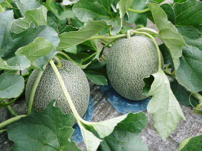 肥後グリーン 今年(令和2年)は5月下旬から出荷します!そのための匠の栽培方法を現地取材!_a0254656_17541636.jpg