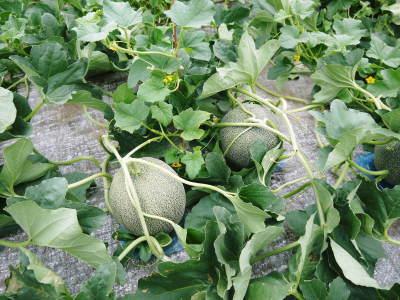 肥後グリーン 今年(令和2年)は5月下旬から出荷します!そのための匠の栽培方法を現地取材!_a0254656_18081483.jpg