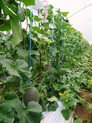 肥後グリーン 今年(令和2年)は5月下旬から出荷します!そのための匠の栽培方法を現地取材!_a0254656_18124849.jpg