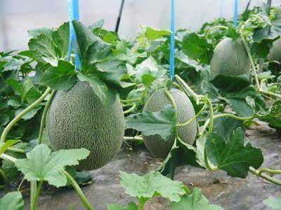 肥後グリーン 今年(令和2年)は5月下旬から出荷します!そのための匠の栽培方法を現地取材!_a0254656_18180384.jpg