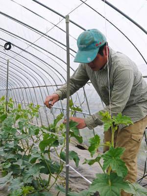肥後グリーン 今年(令和2年)は5月下旬から出荷します!そのための匠の栽培方法を現地取材!_a0254656_18302388.jpg