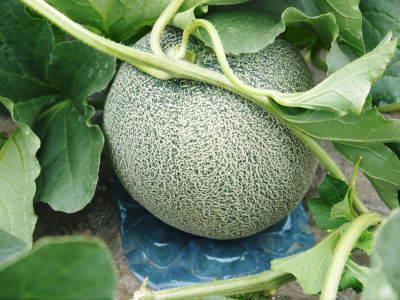 肥後グリーン 今年(令和2年)は5月下旬から出荷します!そのための匠の栽培方法を現地取材!_a0254656_18374575.jpg