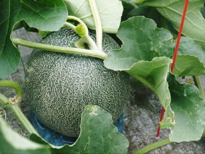 肥後グリーン 今年(令和2年)は5月下旬から出荷します!そのための匠の栽培方法を現地取材!_a0254656_18451590.jpg