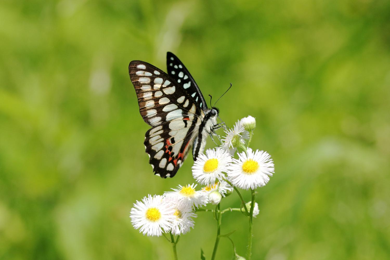 旬の蝶たち ~ ミカドアゲハ ~_e0156157_16210949.jpg