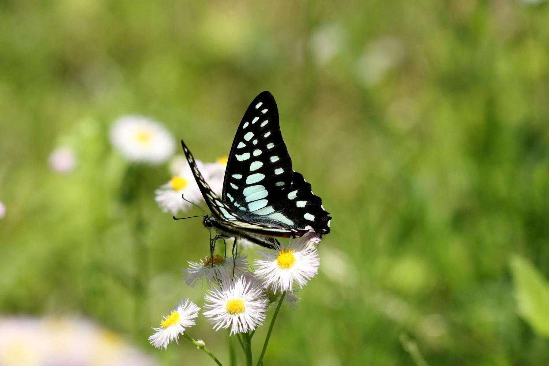 旬の蝶たち ~ ミカドアゲハ ~_e0156157_16211388.jpg