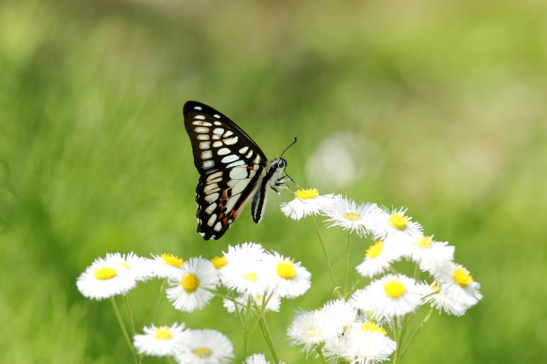 旬の蝶たち ~ ミカドアゲハ ~_e0156157_16211674.jpg