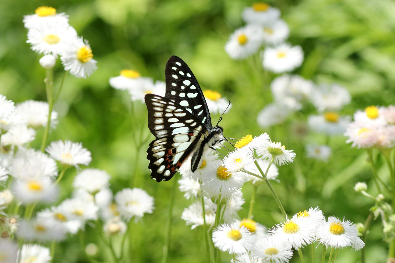 旬の蝶たち ~ ミカドアゲハ ~_e0156157_16211926.jpg