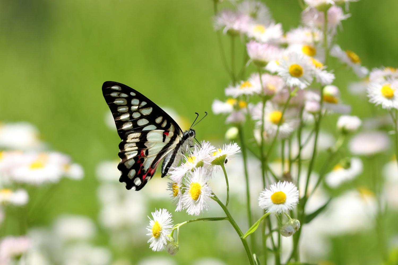 旬の蝶たち ~ ミカドアゲハ ~_e0156157_16212346.jpg