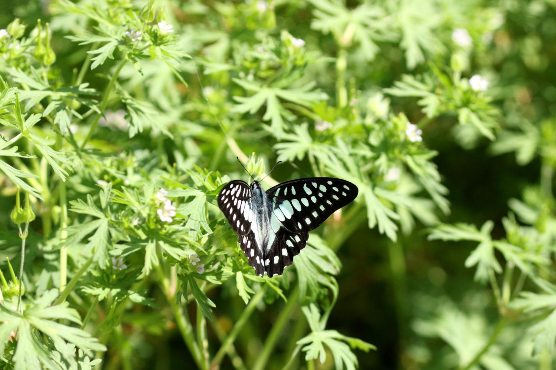 旬の蝶たち ~ ミカドアゲハ ~_e0156157_16212692.jpg