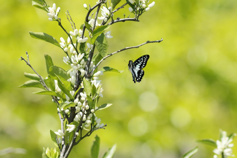 旬の蝶たち ~ ミカドアゲハ ~_e0156157_16213062.jpg