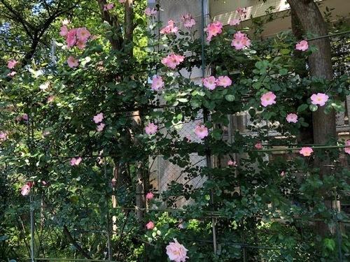 2020年5月6日・駒場バラの小径 開花状況_a0094959_21341309.jpg