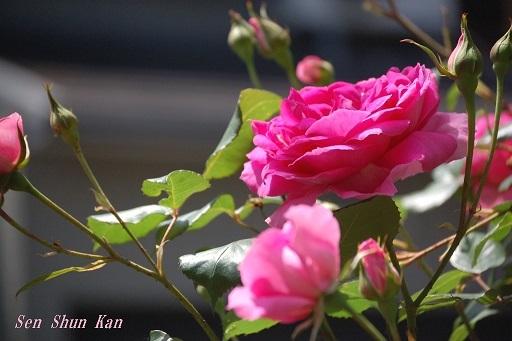 薔薇の花  2020年5月9日_a0164068_17334886.jpg