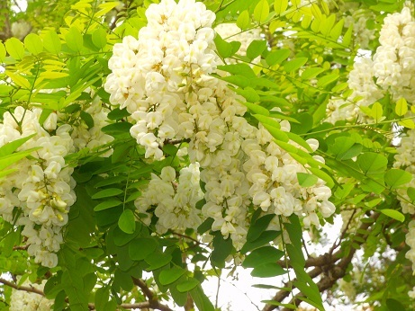 アカシアの花咲く勘定神社_e0175370_21231131.jpg