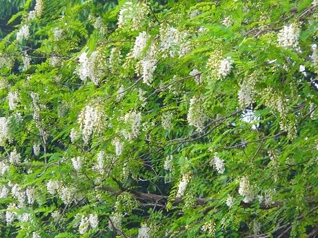 アカシアの花咲く勘定神社_e0175370_21232337.jpg