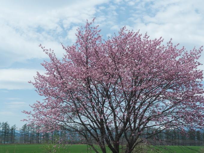 世間は自粛ムードですが・・村道沿いの一本桜は元気に満開!_f0276498_18372731.jpg
