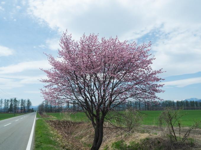 世間は自粛ムードですが・・村道沿いの一本桜は元気に満開!_f0276498_18374355.jpg