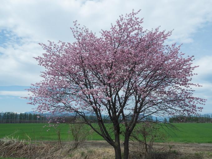 世間は自粛ムードですが・・村道沿いの一本桜は元気に満開!_f0276498_18375997.jpg