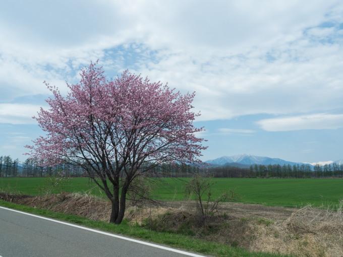 世間は自粛ムードですが・・村道沿いの一本桜は元気に満開!_f0276498_18381240.jpg