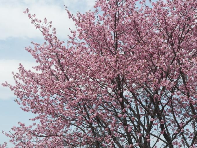 世間は自粛ムードですが・・村道沿いの一本桜は元気に満開!_f0276498_18382318.jpg