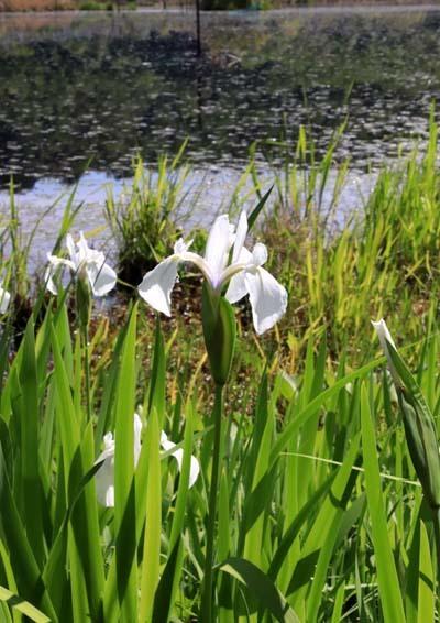 みぞろが池(深泥池) 白杜若が咲いた_e0048413_21351995.jpg