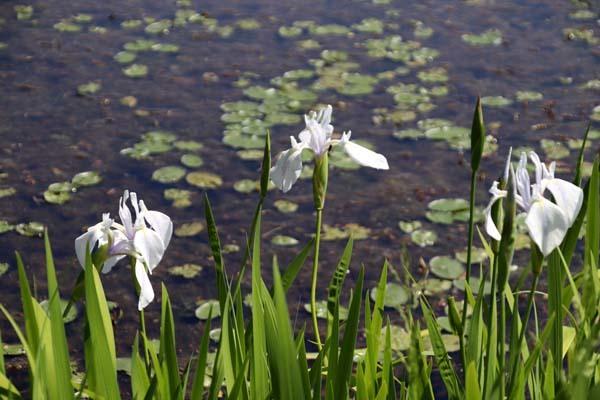 みぞろが池(深泥池) 白杜若が咲いた_e0048413_21352210.jpg