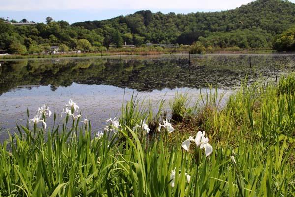 みぞろが池(深泥池) 白杜若が咲いた_e0048413_21354282.jpg
