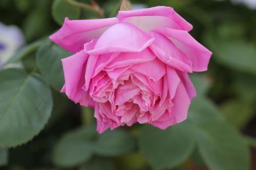 2020年春の薔薇_a0067720_22403259.jpg