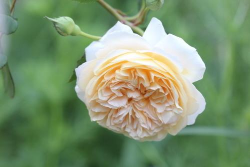 2020年春の薔薇_a0067720_22404589.jpg