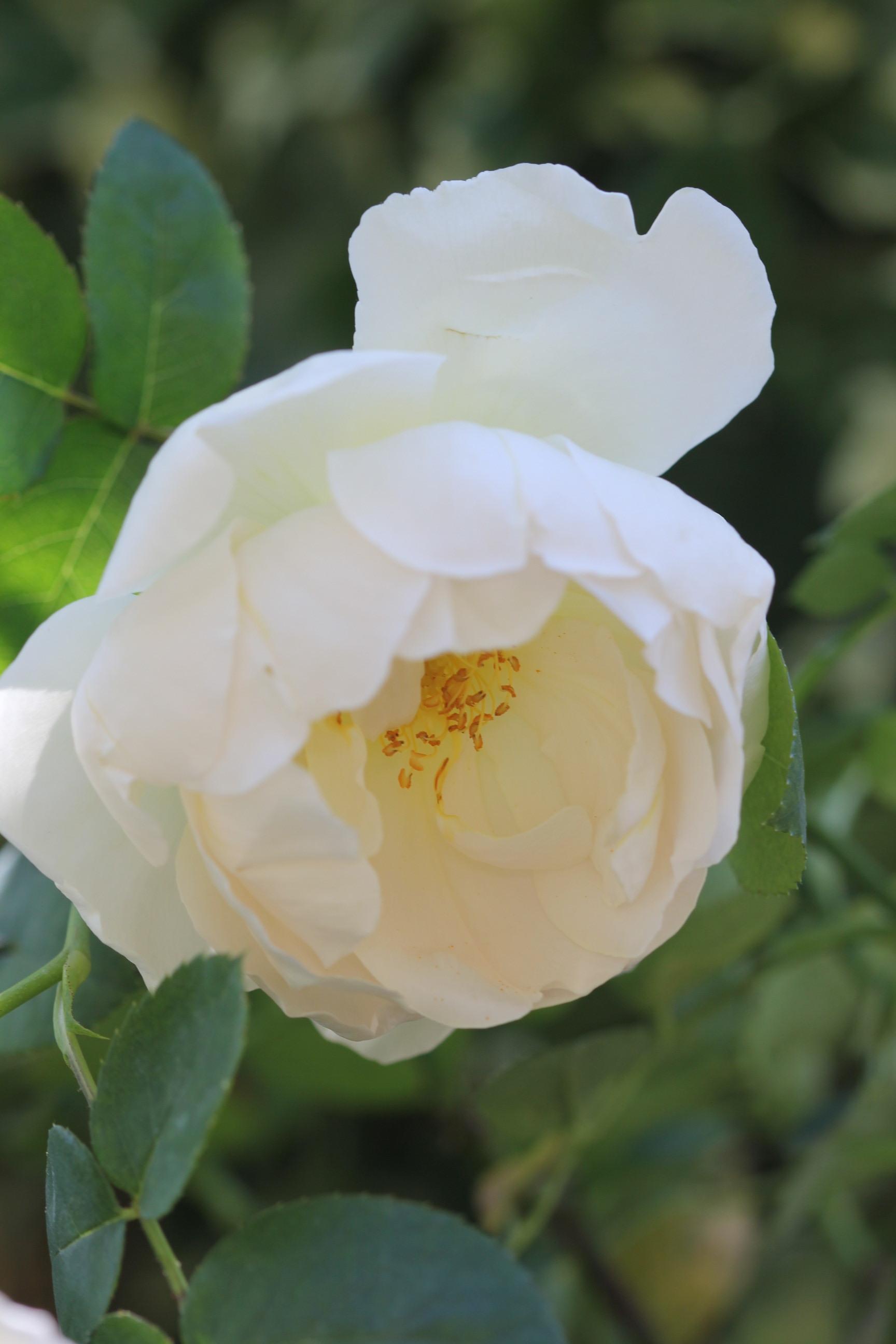 2020年春の薔薇_a0067720_22410345.jpg