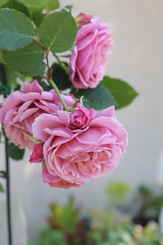 2020年春の薔薇_a0067720_22413707.jpg