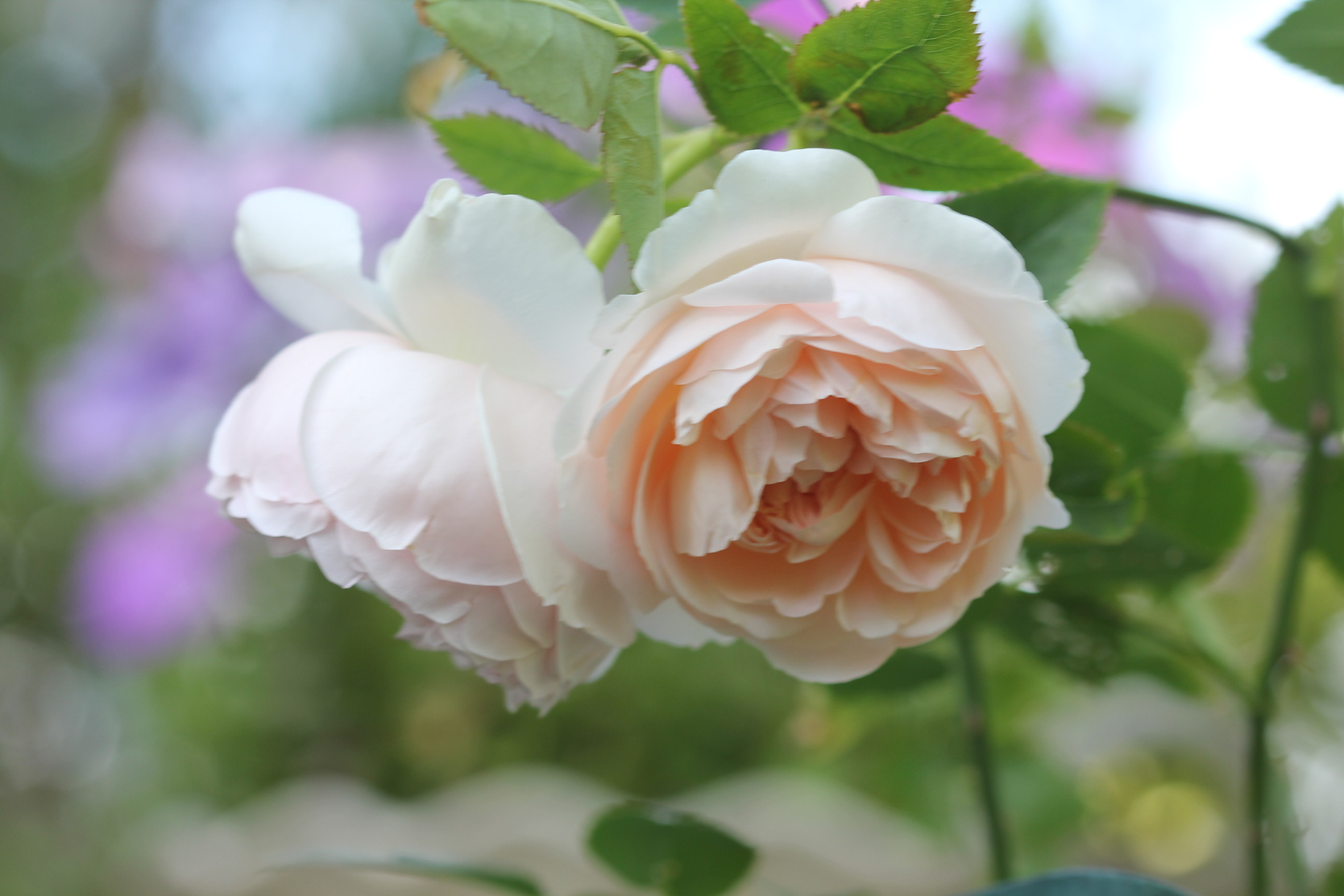 2020年春の薔薇_a0067720_22420067.jpg