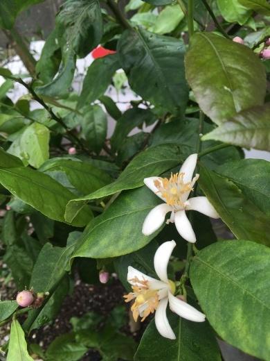 レモンの花が咲きました&母の日には_f0229521_15144985.jpeg