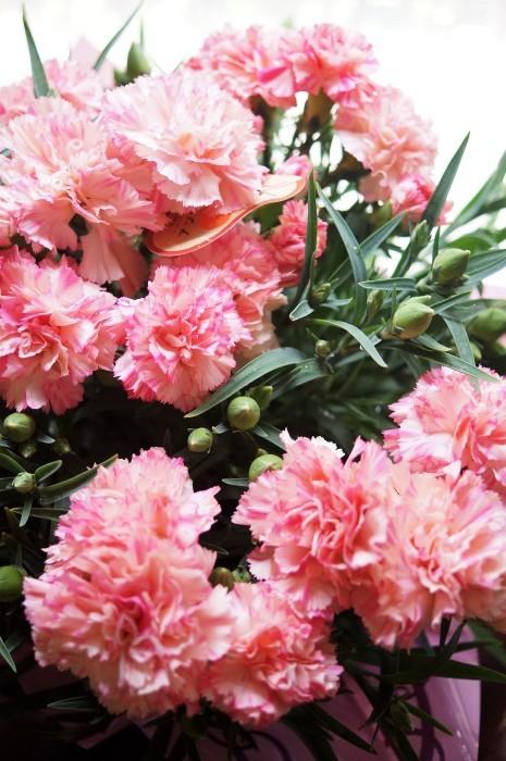 ■母の日で【新宿在住の娘夫婦からは 絞り咲きのカーネーションの鉢植えが届きました♪豪華絢爛!】_b0033423_21093506.jpg