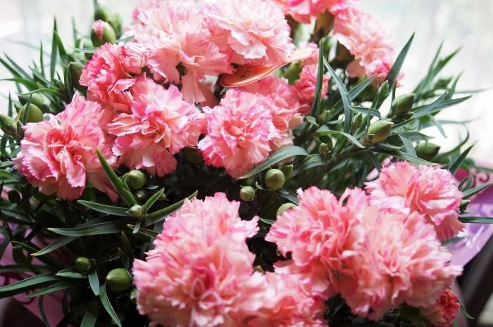 ■母の日で【新宿在住の娘夫婦からは 絞り咲きのカーネーションの鉢植えが届きました♪豪華絢爛!】_b0033423_21095270.jpg