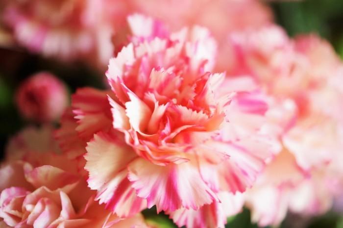 ■母の日で【新宿在住の娘夫婦からは 絞り咲きのカーネーションの鉢植えが届きました♪豪華絢爛!】_b0033423_21194093.jpg