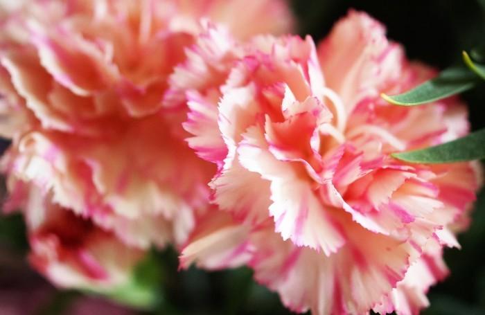 ■母の日で【新宿在住の娘夫婦からは 絞り咲きのカーネーションの鉢植えが届きました♪豪華絢爛!】_b0033423_21200156.jpg