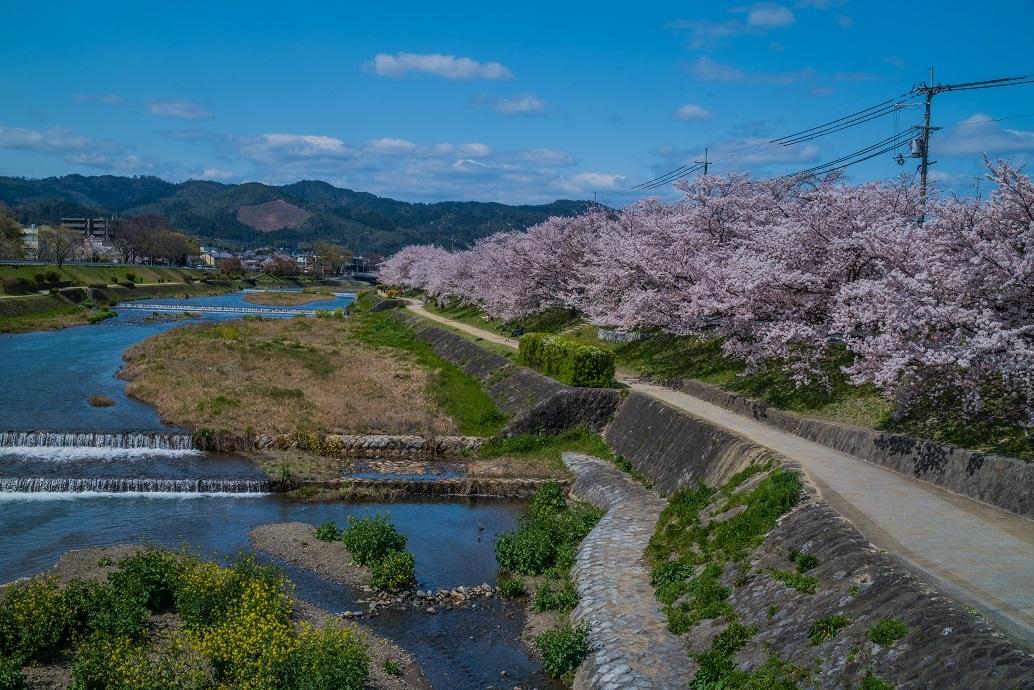 2020京都桜~北山橋から上賀茂橋_e0363038_15470919.jpg